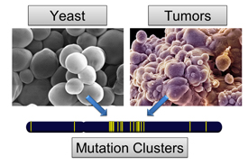 Mutation clusters in the DNA of yeast and tumor cells