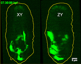 green fluorescent neurons migrating in roundworm embryo