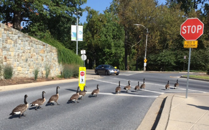 A dozen Canada geese marching down the road toward a stop sign