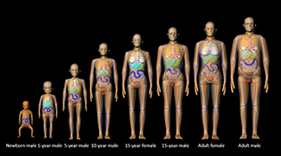 Eight human models from toddler to adult
