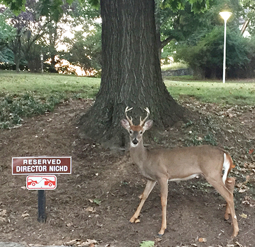 male deer standing next to a sign for the director of NICHD (National Institute of Child Health and Human Development)