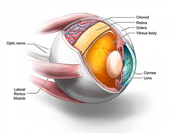 cross section of eyeball