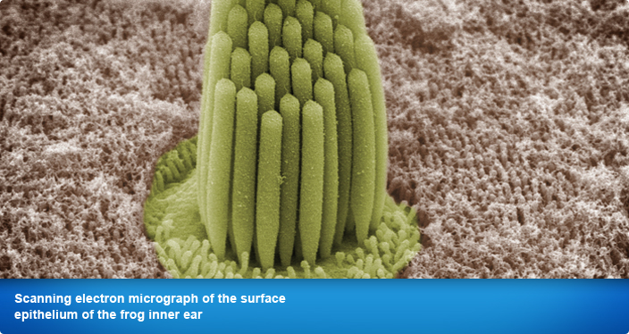 Scanning electron micrograph of the surface epithelium of the frog inner ear