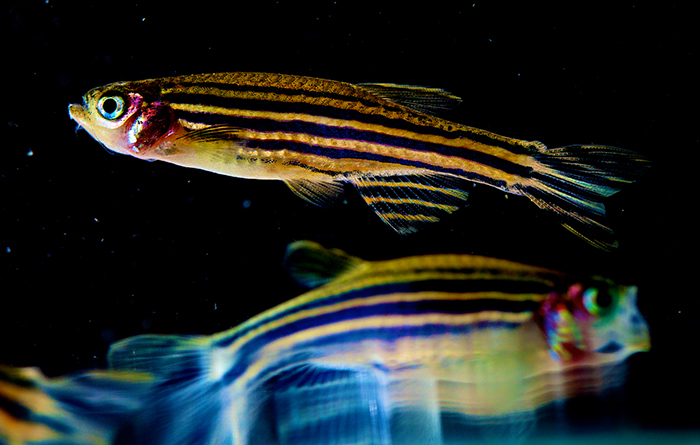 Photo of two zebrafish
