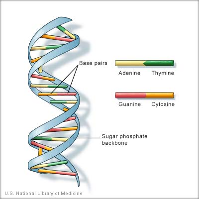 diagram of DNA strand