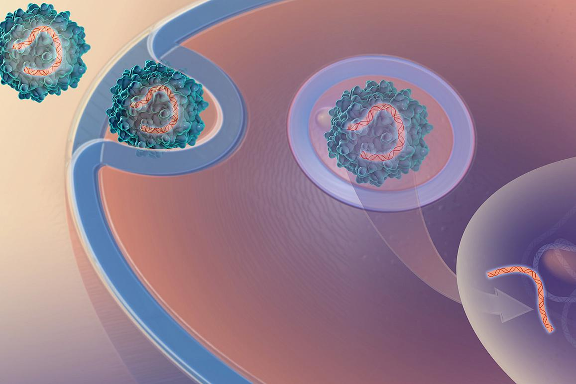 virus delivers genetic material to a cell