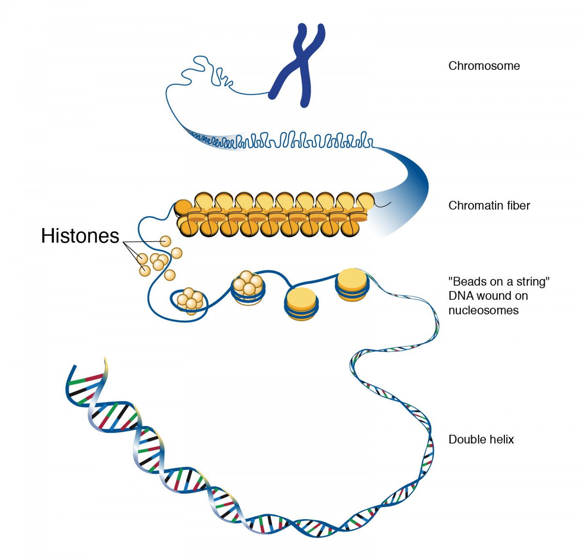 diagram showing how DNA is packaged into nucleosomes and chromosomes by winding around histones