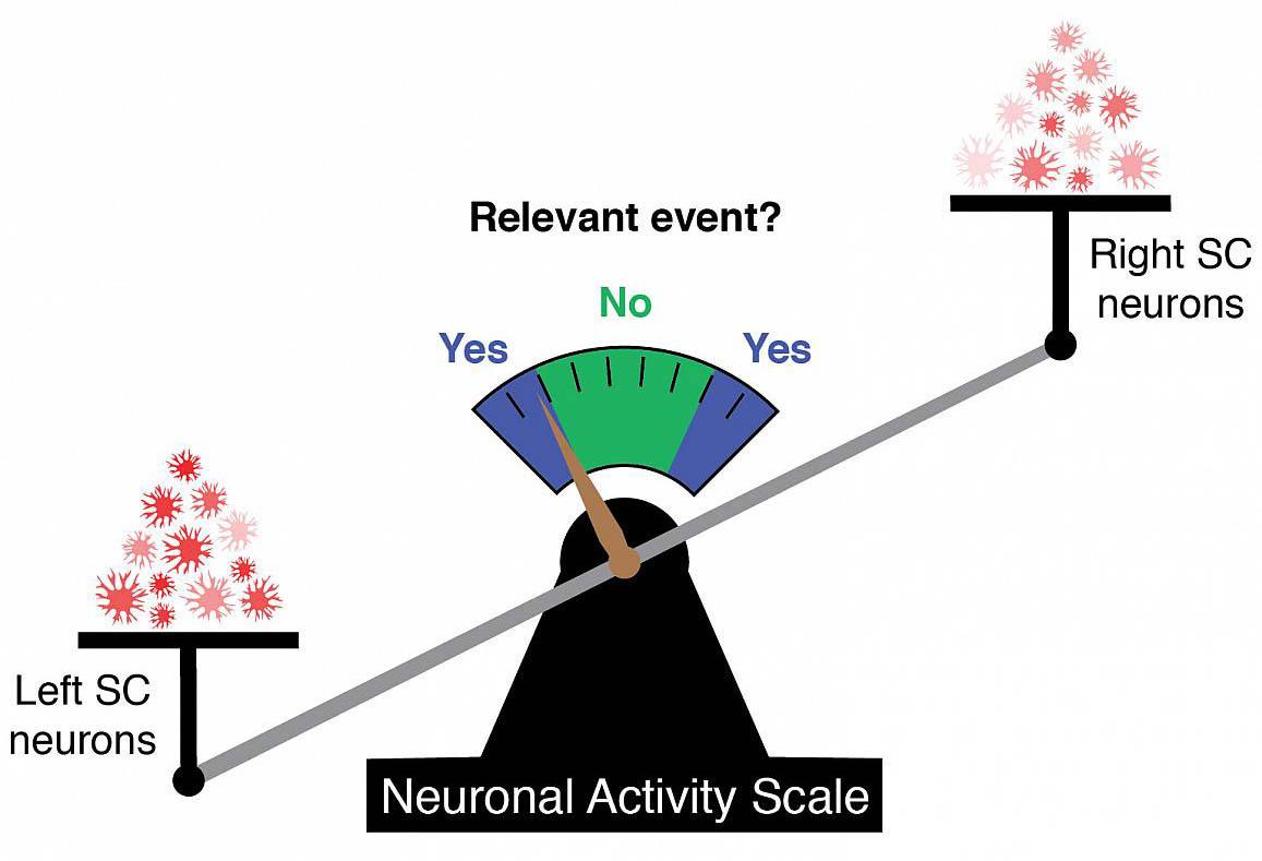 scale weighing the activity in neurons in the left and right superior colliculus